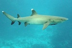 Whitetip reef shark genetics